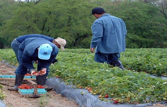 Firma SUREXPORT COMPANIA AGRARIA S.L. din regiunea Huelva, localitatea Almonte, Spania oferă 900 locuri de muncă în agricultură la recoltare fructelor